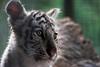 White Bengal Tiger Cub (Sandra Wildeman) Tags: portrait cute zoo nikon porträt portret katzen bigcats whitetiger dierentuin dierenpark tigercub bengaltiger olmen felidae königstiger wittetijger tigreblanco welp olmensezoo pantheratigristigris bengaalsetijger katachtigen whitetigercub tigredebengale royalbengaltiger tigreblanc d5300 indischertiger