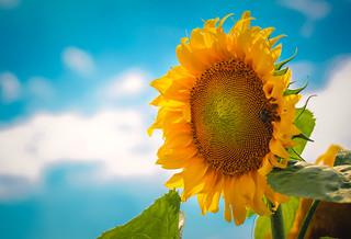 Sunflower / Tournesol - Explored