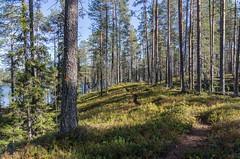 Soiperoinen (Juho Holmi) Tags: park sun macro nature beautiful weather k trekking trek suomi finland dc scenery finnland pentax 5 north sigma sunny 45 national 17 28 af oulu northern norra 70 mets k5 finlandia kansallispuisto luonto retki sterbotten ostrobothnia taivalkoski syte 1770mm f2845 retkeily metshallitus pohjoissuomi pohjoispohjanmaa soiperoinen retkeilyalue pyhitys sytteen
