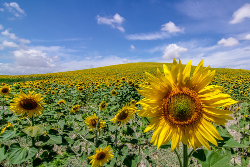 Spanish Sun Flower fields