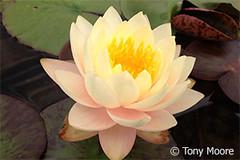 Mae1 (Waterlelie.be) Tags: ohio mae bethel 2012 tonymoore verenigdestatenvanamerika noordamerika nymphaeamae