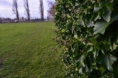 Hedge bordering the field (gwenbrewer) Tags: meadows grass wildlife trees hedges winter london chiswick nature sky blue