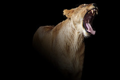 Hear me Yawn (Just BS) Tags: nature animal blackbackground photoshop tampa zoo florida jaw wildlife teeth lion bigcat lioness buschgardens africanlion