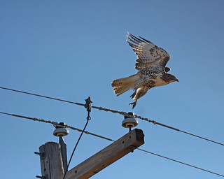 Red Tailed Hawk 5208