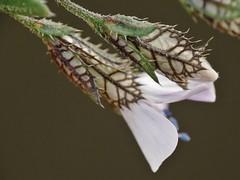 Loeselia caerulea (Cav.) G. Don (carlos mancilla) Tags: flowers flores macro macrofotografa raynoxdcr250 olympussp570uz loeseliacaeruleacavgdon huichichile