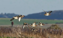Teal flock (John Assheton) Tags: birdwatcher cley naturescall treeofhonor
