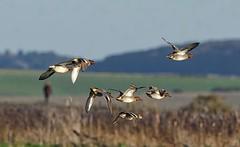 Teal flock (John Assheton) Tags: birdwatcher cley naturescall treeofhonor
