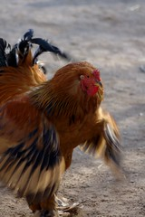 Attack! (dididumm) Tags: fight attack cock rooster hahn cockerel kampf angriff