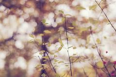 HBW!! :) (Frau Koriander) Tags: autumn winter blur fall nature leaves forest germany deutschland 50mm leaf dof hessen bokeh herbst natur f18 wald blätter spindle darmstadt hesse pfaffenhütchen pastell hessia arheilgen südhessen geäst hbw rheinmaingebiet happybokehwednesday autumnloveaction nikond300s kranichsteinerwald