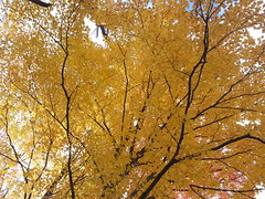 20151017_125535 (plussed) Tags: autumn fall maple foliage acer sugarmaple saccharum fall2015