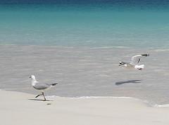 La plage, à pattes ou en vol (Pi-F) Tags: eau ombre vol nouvellecalédonie plage marche mouette parrallèle