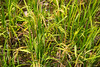 Rice (Bridgetony) Tags: china asia southeastasia rice guilin yangshuo karst guanxi asiapacific