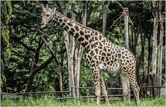 Humility is not thinking less of yourself, it's thinking of yourself less. _ C. S. Lewis (Ramalakshmi Rajan) Tags: giraffe fromarchive mysore mysorezoo animals animal nikon nikond5000 nikkor1855mm