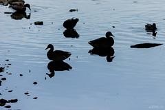 Siluetas (Jaime GF) Tags: duck backlighting silhouettes pato contraluz siluetas baugues gozn asturias spain nikon d40
