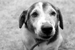 Black & White Eddie (Chris Sinfield) Tags: dog calm black white monochrome petportrait pet garden photography flickr animals animal dogs content submissive dslr canon 700d happy sitting nose eyes contrast portraits portrait jackrussell friendly