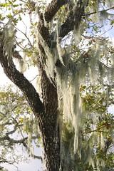 Sun on oak hung with Ramalina menziesii, LACE LICHEN (openspacer) Tags: fagaceae jasperridgebiologicalpreserve jrbp lichen oak quercus trail tree
