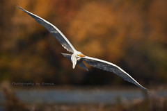 Flight of the day !!! (Photography by Ramin) Tags: great egret flight wildbirds wildlife wild ottawa mud lake ontario canadian fall