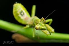 Mantis (Creobroter sp.) - PA120046 (nickybay) Tags: singapore durianloop macro hymenopodidae mantis meantodea creobroter nymph