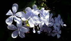 Is Beauty Vain (Khaled M. K. HEGAZY) Tags: nikon coolpix p520 ras sedr egypt nature outdoor closeup macro plumbago stamen pistil plant flower petal leaf leaves foliage green blue white black