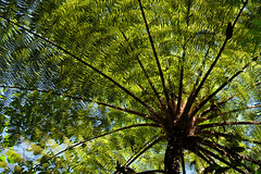 Cyatheales (shingola) Tags: cyatheales tree fern bali