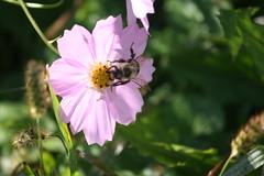 Delicate Wings (eyriel) Tags: bee bug insect bumblebee natue wildlife flower garden cosmos purple macro bokeh
