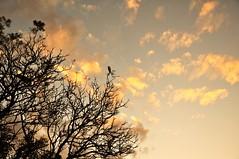 esperança (Ruby Ferreira ®) Tags: sunset bird pássaro tree silhouettes silhuetas clouds