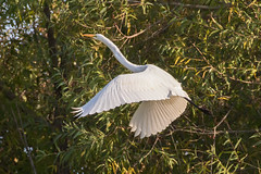 great egret at sunset 10-16-2016-45 (Scott Alan McClurg) Tags: aalba ardea ardeidae flickr algae animal autumn back backyard bluesky fall flap flapping flight fly flying glide gliding glow greategret land landing life nature naturephotography neighborhood pond portrait sky sun sunset wetlands white wild wildlife