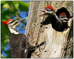 Pileated Woodpeckers feeding (RKop) Tags: a77mk2 600mmf4apogminolta raphaelkopanphotography fernaldpreserve ohio sony