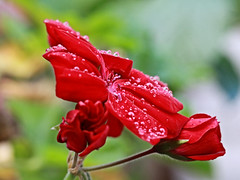 Red Flower Macro (hbickel) Tags: red flower macro macrolens waterdrops water canont6i canon photoaday pad