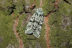 Merveille du Jour (Marcell Krpti) Tags: griposiaaprlina noctuinae noctuidae lepidoptera merveilledujour zldszibagoly moth beauty szolnok hungary green spectacular nationalmothweek mimicry