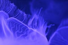 Moon Jelly (godpasta) Tags: newportaquarium kentucky newport aquarium jellyfish moonjelly