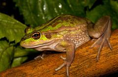 Ranoidea raniformis (NZ) (ROCKnVOLE Photography) Tags: litoria raniformis frog southernbellfrog growlinggrassfrog ranoidea