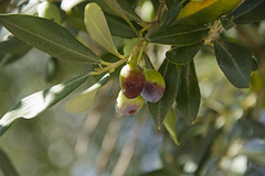 Olives (hippyczich) Tags: olives tree leaves ithaca greece