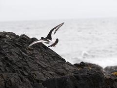 Haematopus ostralegus (Tanguy Martinez) Tags: haematopus ostralegus bird iceland