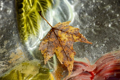 Fall Foliage (dbifulco) Tags: nikkor105mmf28 abstract extensiontube flora leaf macro water