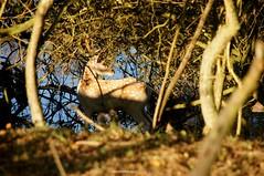 DSC00596 (ZANDVOORTfoto.nl) Tags: hert damhert deer burlen knorren knirren awd amsterdamsewaterleidingduinen amsterdamse waterleiding duinen edwin keur zandvoortfoto zandvoort zandvoortphoto zandvoortfotonl