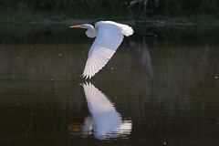 great egret at sunset 10-16-2016-8 (Scott Alan McClurg) Tags: aalba ardea ardeidae flickr algae animal autumn back backyard bluesky fall flap flapping flight fly flying glide gliding glow greategret land landing life nature naturephotography neighborhood pond portrait sky sun sunset wetlands white wild wildlife