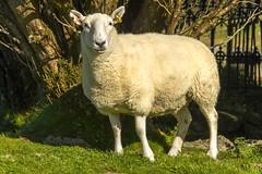 Sheep (Kev Gregory (General)) Tags: sheep mingles amongst gravestones cill chriosd isle skye b8083 broadford torrin elgol road west scotland