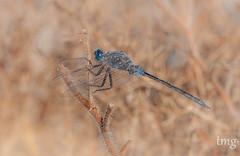 Long Skimmer (Orthetrum trinacria, male) (Teo Martnez (temege)) Tags: odonatos liblulas dragonfly insectos insects invertebrados naturaleza nature orthetrum trinacria macro azul blue verano summer