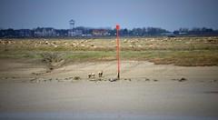 les moutons  la plage (pontfire) Tags: lamer baiedesomme beach plage france 80 paysage travel explore explorer