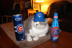 While I was out celebrating, Normandy was celebrating the Cubs victory at home (Hazboy) Tags: hazboy hazboy1 cubs world series norm normandy cat pussycat evil old style bud light chat katze gato gatto