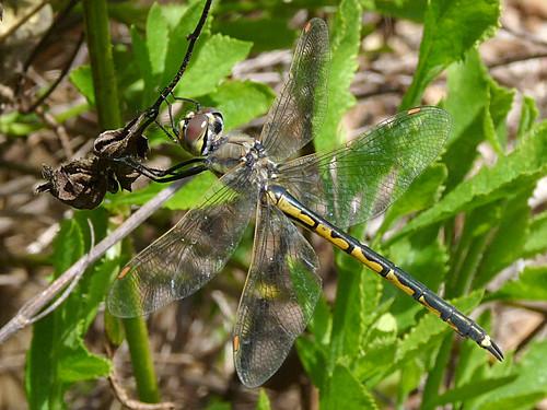 Tau Emerald dragonfly