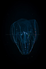 Lobate comb jelly 010 (runwildtv) Tags: ctenophore beating bioluminescent cillia color colorful colors colourful colours comb diffraction jelly luminescent marine plankton predatory pretty rainbow slow