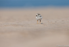 Piping Plover Chick (Endangered Species) (naturethroughmyeyes.com) Tags: endangeredspecies pipingplover pipingploverchick shorebird nature wildlife outdoors summer wasagabeach georgianbay ontario canada northamerica naturethroughmyeyescom barbaralynne barbaralynnedarpino barbdeardendarpino copyrightbarbdarpino cute sweet tiny chick