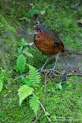 Giant Antpitta, Ecuador (www.juancarlosvindasphoto.com) Tags: juancarlosvindas centralamerica nature wildlife landscape frog amphibian birds birdphotography photographer photos pictures stock fulllength nobody frontalview sideview outdoors mammals endemic reptiles portraitmode portrait large small aves colibries colibris hummingbird canon multiflash gear tropical rainforest cloudforest tropicaldryforest protected workshop tour expedition unique cute waterfall green forest poisonous rightsmanaged rm getty treefrog leaffrog landscapes ecuador distinctive endangered animalsinthewild birdwatching biology biodiversity multicolored animal toucan wildanimals tropicalbirds neotropicwildlife neotropicbirds grallariagigantea giantantpitta