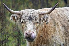 Long-Horned Cow (Vermont Lenses) Tags: cow cattle bovine horns vermont