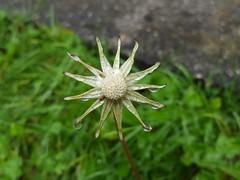 298/366 Ain't No Sunshine (Helen Orozco) Tags: deadhead rain 2016366 drops plant dandelion
