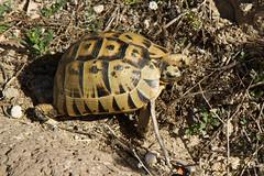 Hermann's tortoise (jan.stefka) Tags: canoneos7d elvazelenav testudohermanni tharros hermannstortoise 2016 sardegna sardinie sardinia