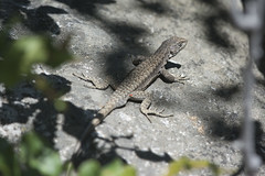 Lagartija de Garín - Liolaemus calosgarini (gerardo.carinao) Tags: regióndelmaule cerro cerrolacampana armerillo chile 2016 reptil lagartijadegarín liolaemuscarlosgarini
