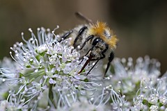 Hummel im Herbst 2 (DianaFE) Tags: dianafe insekt blume pflanze tiefenschrfe schrfentiefe makro freihandmakro hummel dianae
